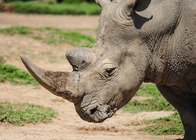 Consolation for the terminally ill: study finds a surprising use for rhino horn