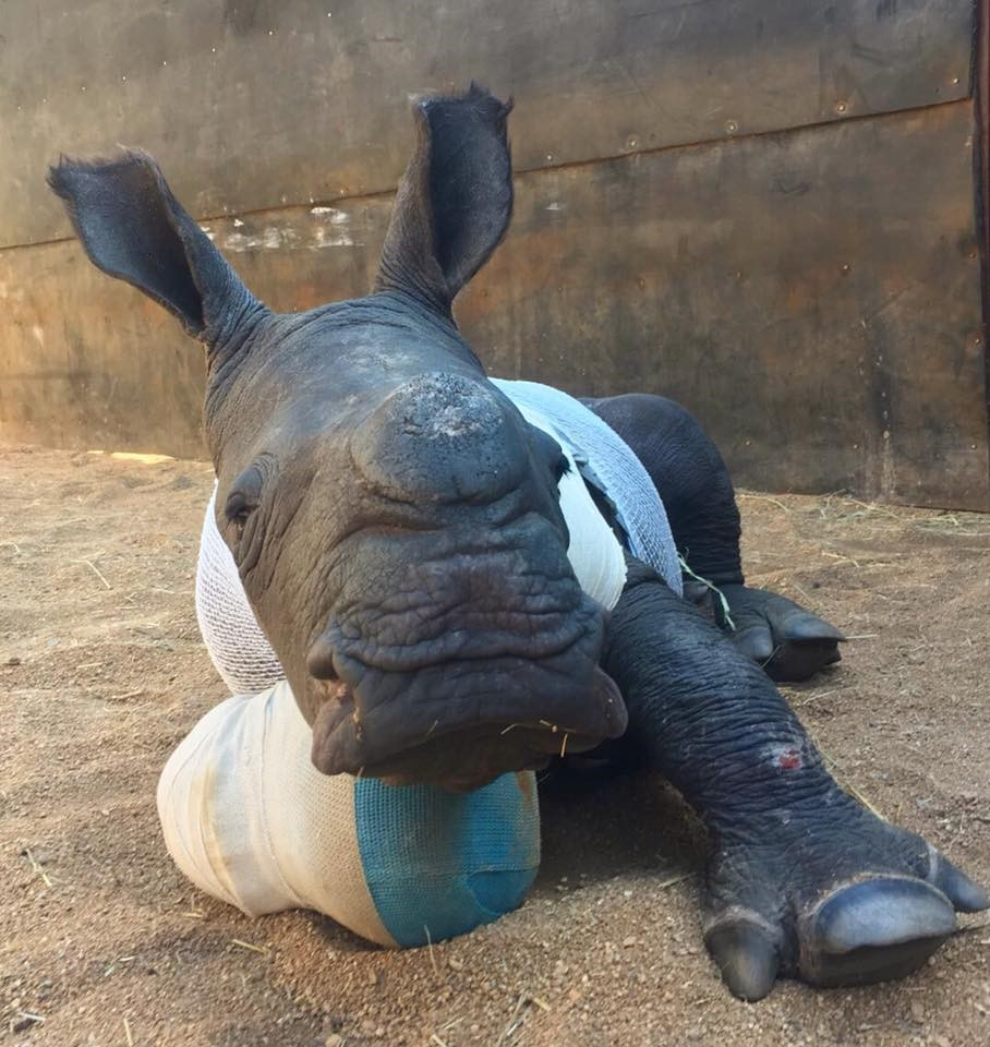 Meet Arthur the one month old rhino who tried to save his mom from poachers