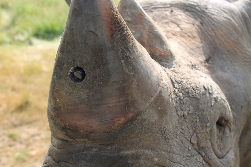 Spy cameras fitted to endangered rhinos to stop them being butchered by poachers