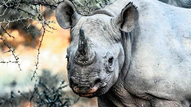New efforts in motion to save endangered rhinos