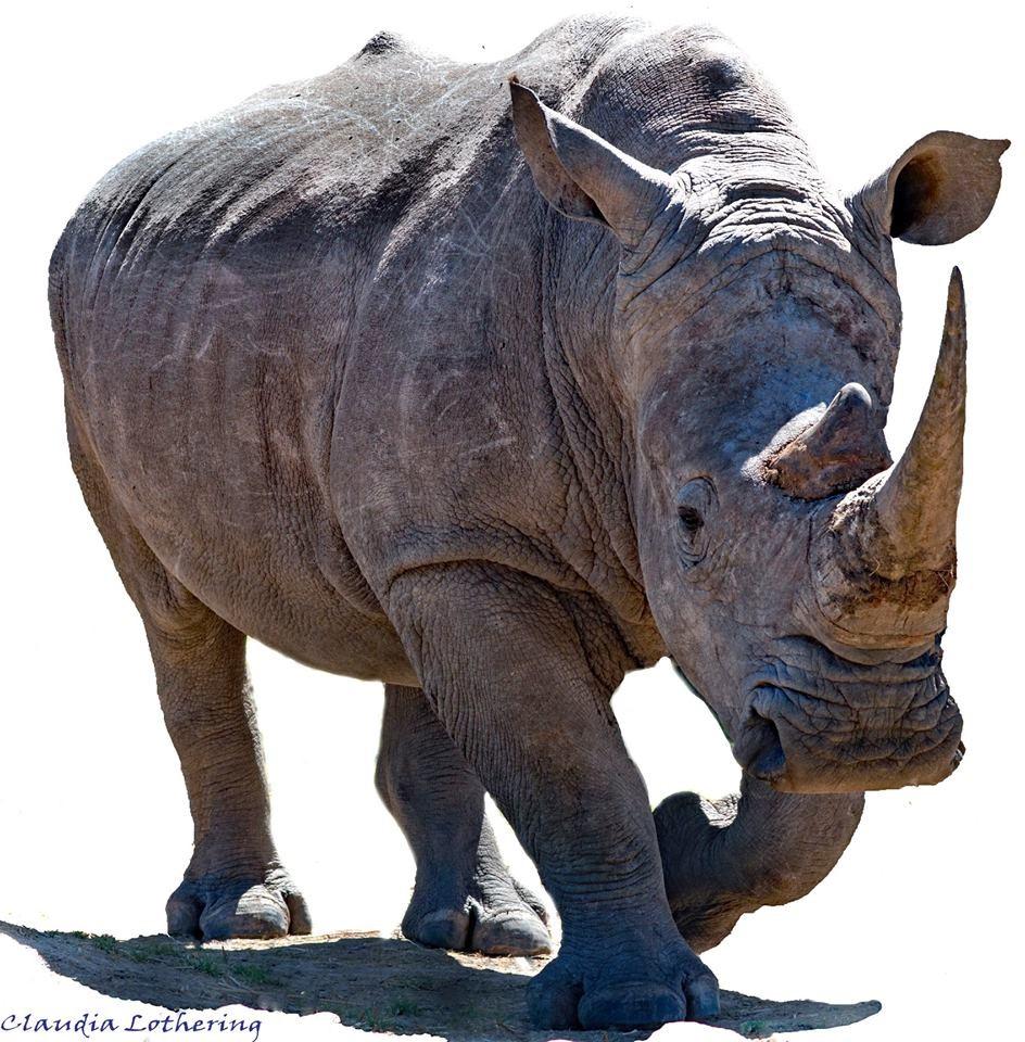 A Rhino Poem
