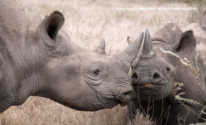 What Lies Ahead for Africa's Rhinos