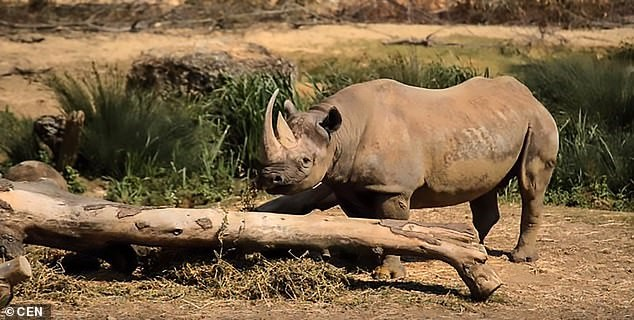 Black rhinoceros dies at French zoo following operation to extract its semen