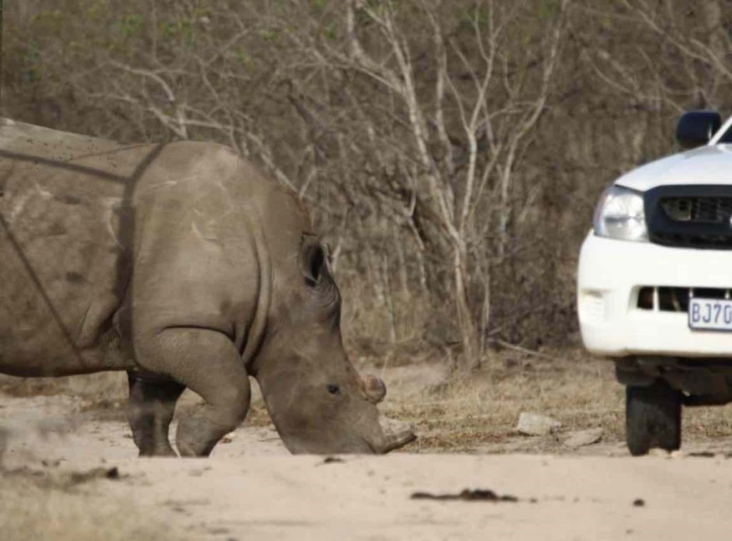 Rehabilitated Rhino Poaching Survivors, Lion's Den and Dingle Dell, are Released Back into the Wild.