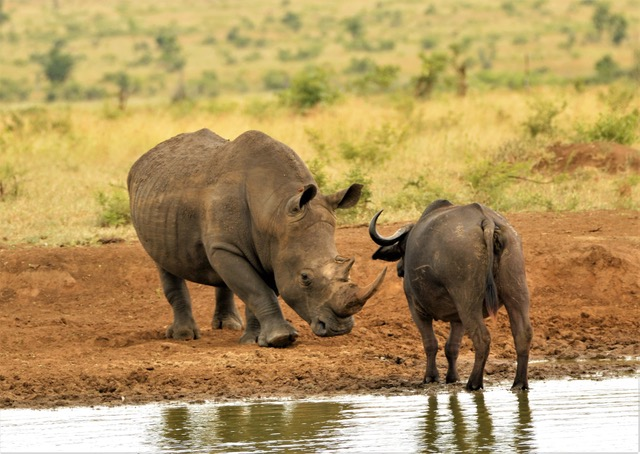 this photo shows the size difference between a buffalo and aRhino!