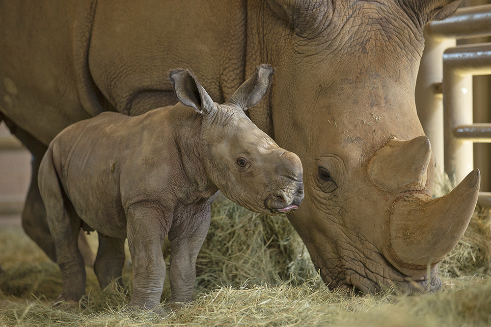 Historic birth of Southern White Rhino conceived through artificial insemination at the San Diego Zoo