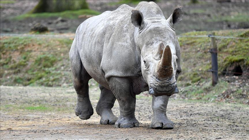 The Social Structure of White Rhinos